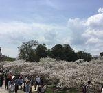 御室の桜1.jpg